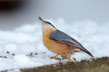 nuthatch bird in natural habitat (sitta europaea)
