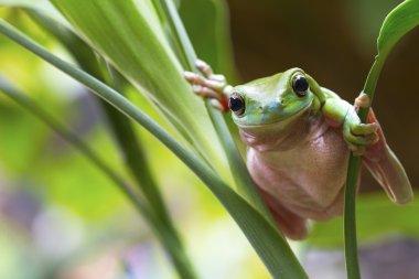 "Картина, постер, плакат, фотообои ""австралийская зелёная лягушка"", артикул 55336153"