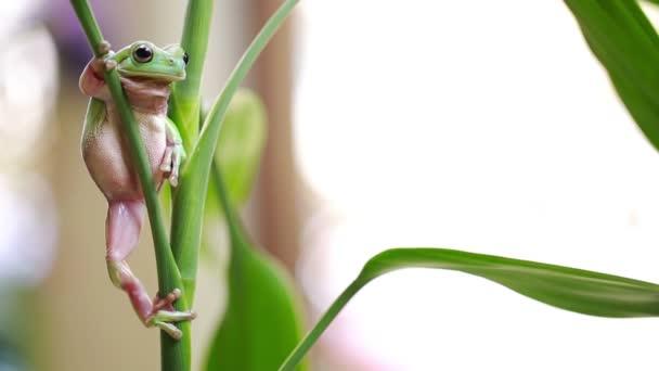 Australischer Grüner Laubfrosch