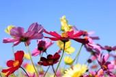 kozmosz virág mező