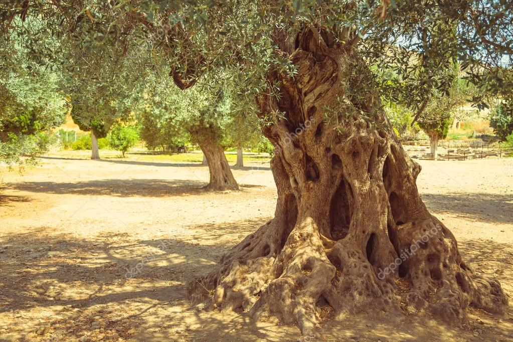 Olive field with big old olive tree roots