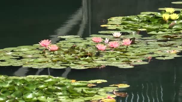 Krásné růžové lotosové květy v liliovém jezírku, 4k