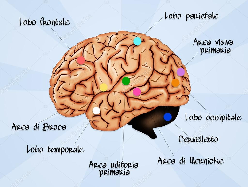 Anatomía del cerebro — Fotos de Stock © adrenalina #54914253