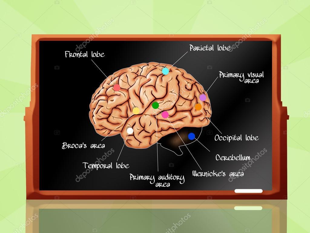Anatomía del cerebro — Foto de stock © adrenalina #54914617