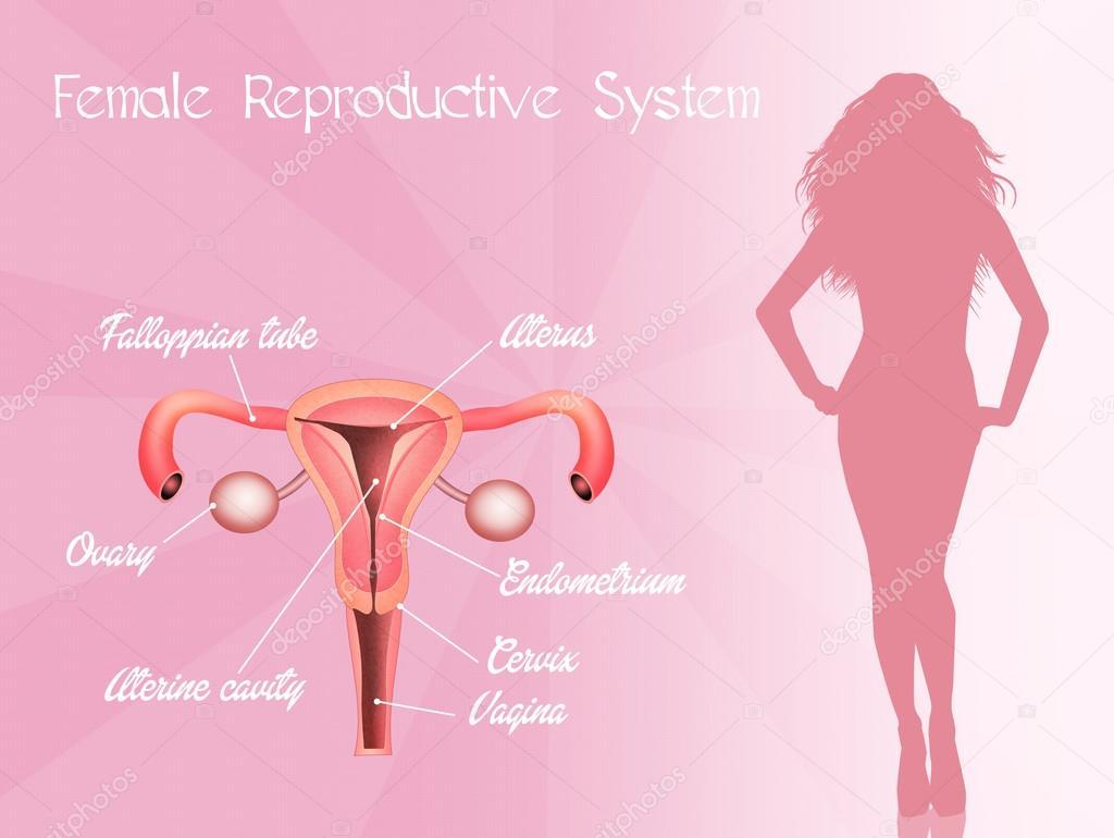 weibliche Geschlechtsorgane — Stockfoto © adrenalina #64291197