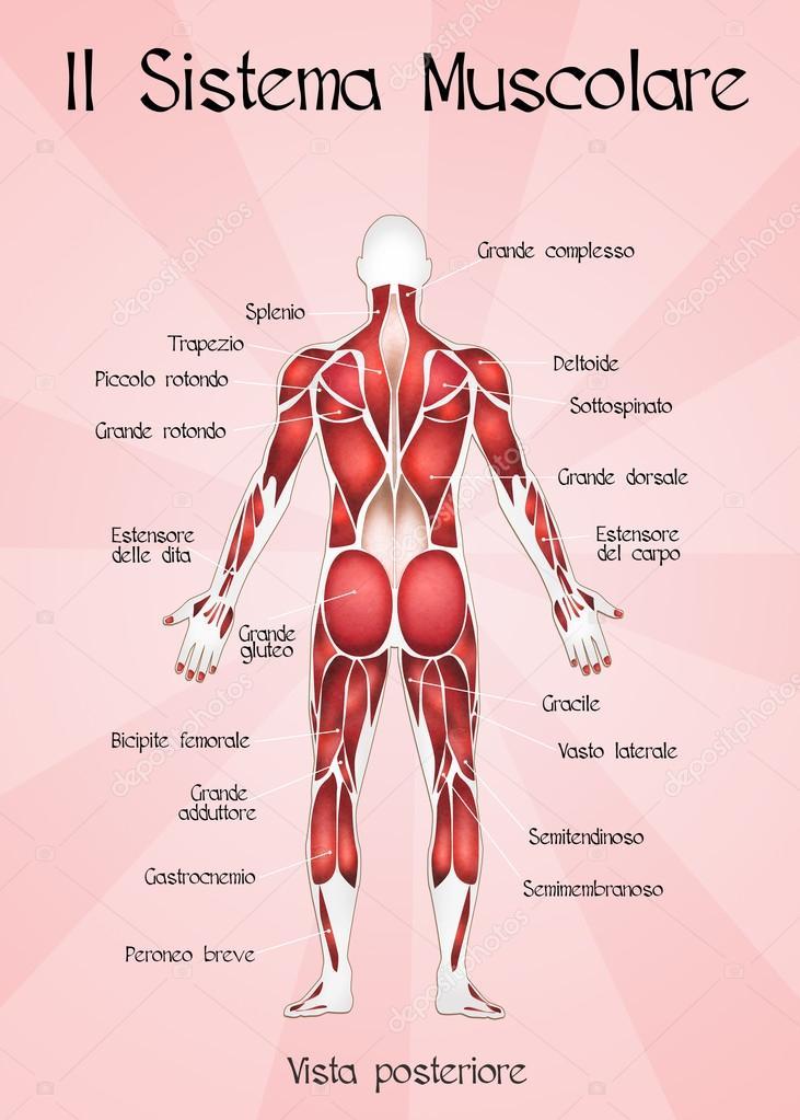 el sistema muscular — Fotos de Stock © adrenalina #64293519