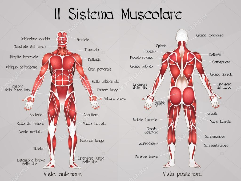 Diagrama Del Sistema Muscular - All Kind Of Wiring Diagrams •