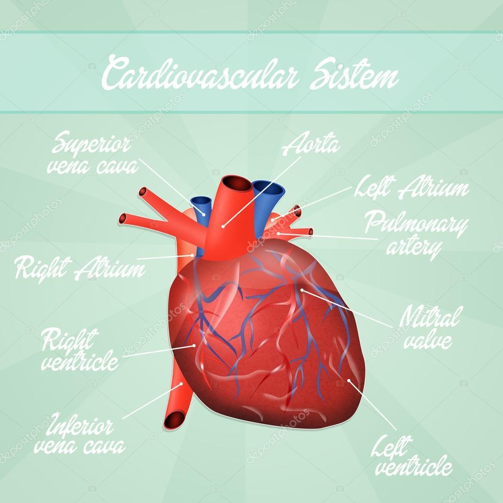Esquema del sistema cardiovascular — Foto de stock © adrenalina ...