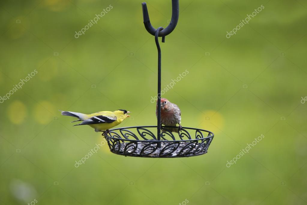 Two Finches Fighting