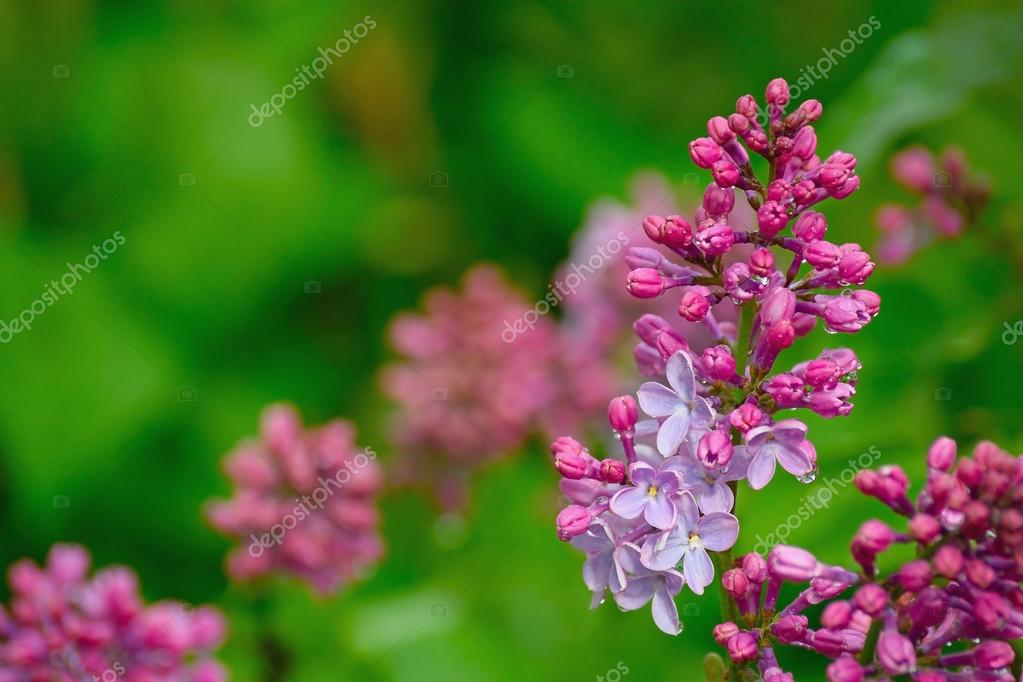 lilac flowers in water drops after rain