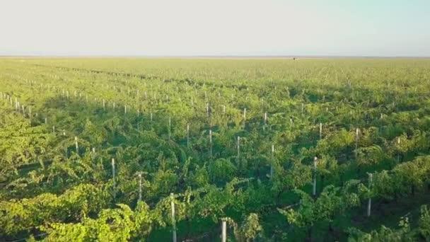 Vinice na podzim. Krásný drone let nad barevnou vinici v Moldavsku