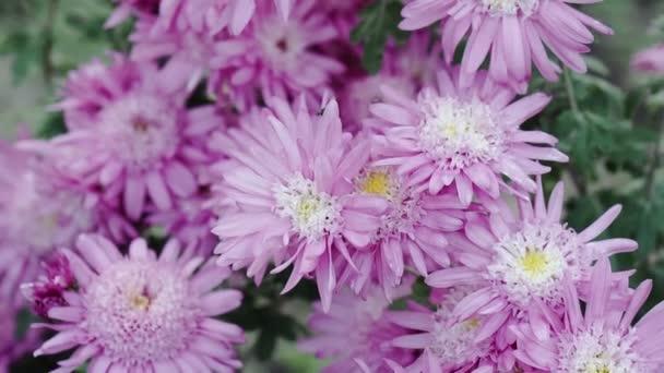 Ősz, lila égők virágoznak a kertben
