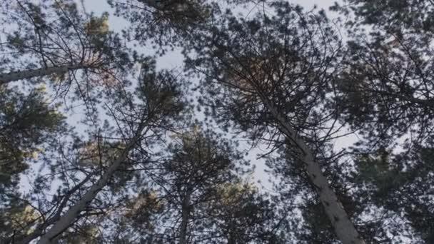 Széles látószögű serpenyő, amely a magas tűlevelű fenyőerdőt a kék ég felé nézi