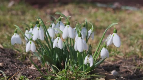 Closeup shot of fresh early snowdrops or common snowdrops Galanthus nivalis