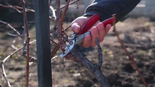 Időskorú mezőgazdasági termelő borszőlő tisztítása, tavaszi évszak