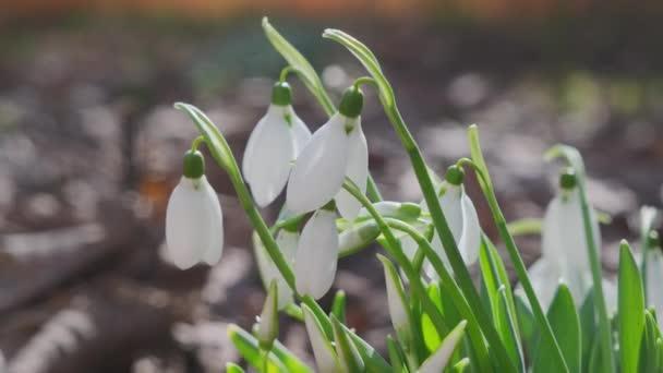 Szoros kép friss korai hócseppekről vagy közönséges hócseppekről Galanthus nivalis