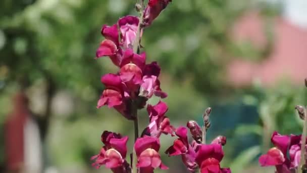 Velmi úzký pohled na kvetoucí růžové Antirrhinum Majus květina (aka Lví tlama) v zahradě