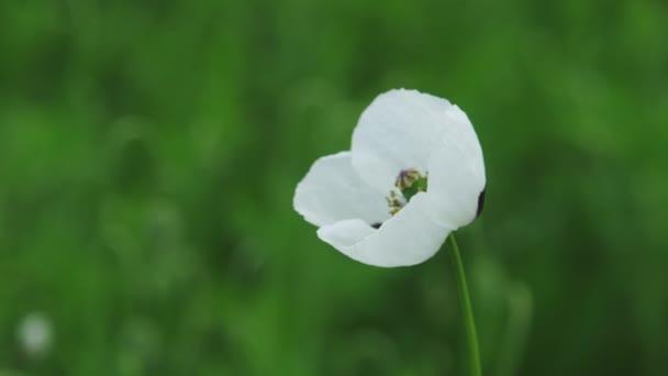 Fehér mákvirág a mezőn, Papaver dubium albiflorum