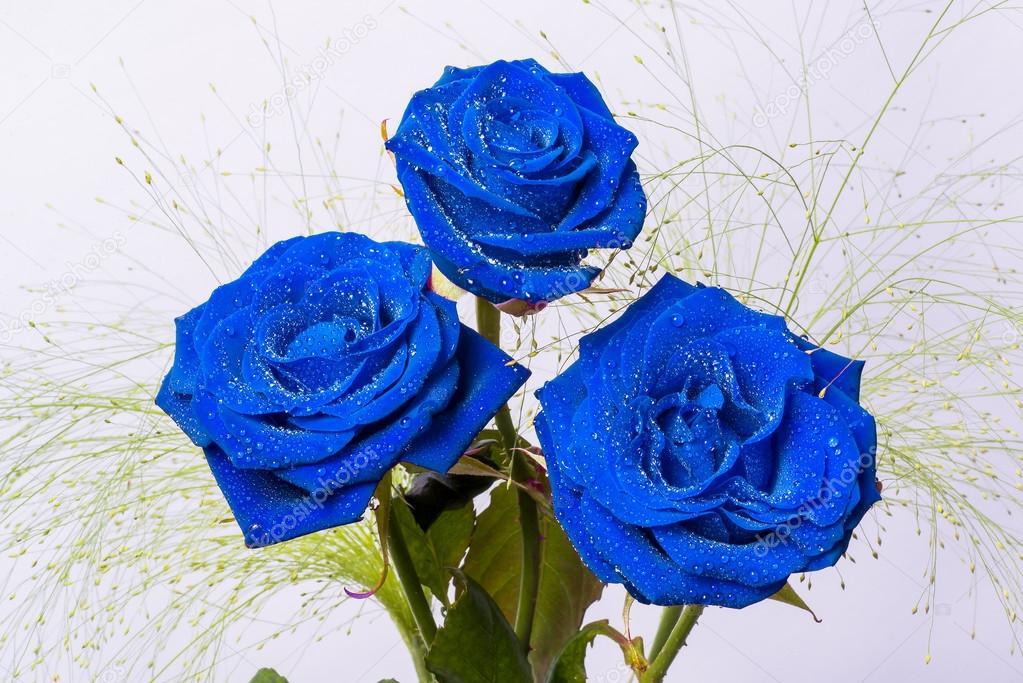 Tres Hermosas Rosas Azules Con Hojas De Color Verde Fotos De Stock