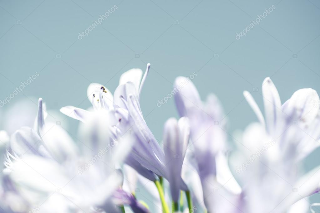 light purple lilies on a light blue background