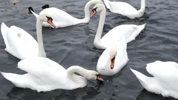 fehér hattyúk úsznak az őszi tóban