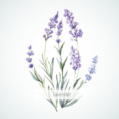 Watercolor illustration of Lavender