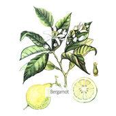 Akvarel Bergamot karta