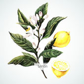 Akvarel citron karta