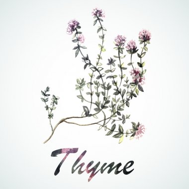 Watercolor Thyme plant