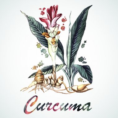 Vector watercolor Curcuma