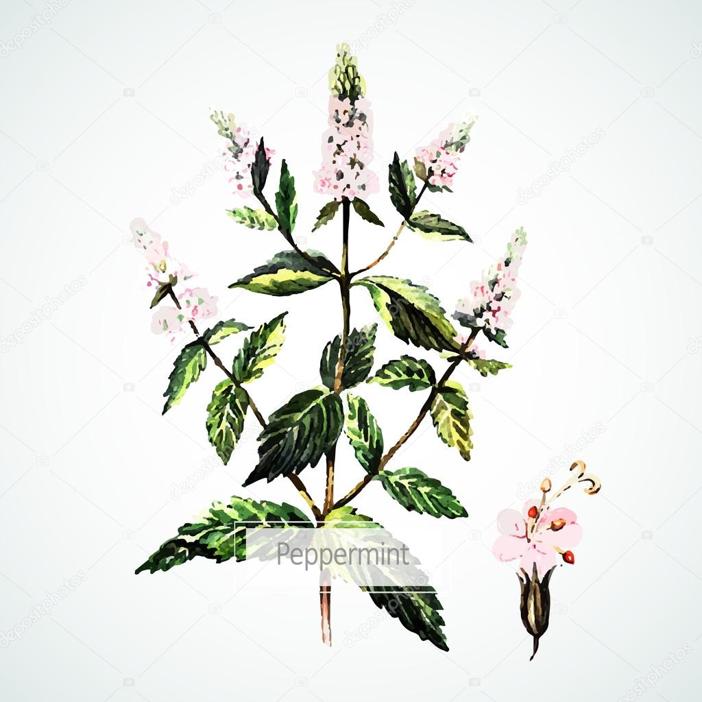 Watercolor Peppermint flowers