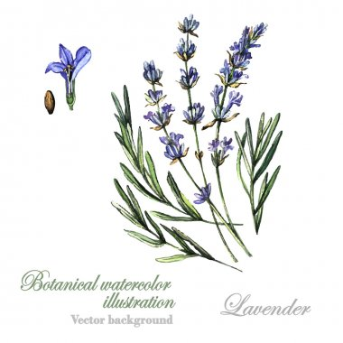 Watercolor Lavender illustration Lavender