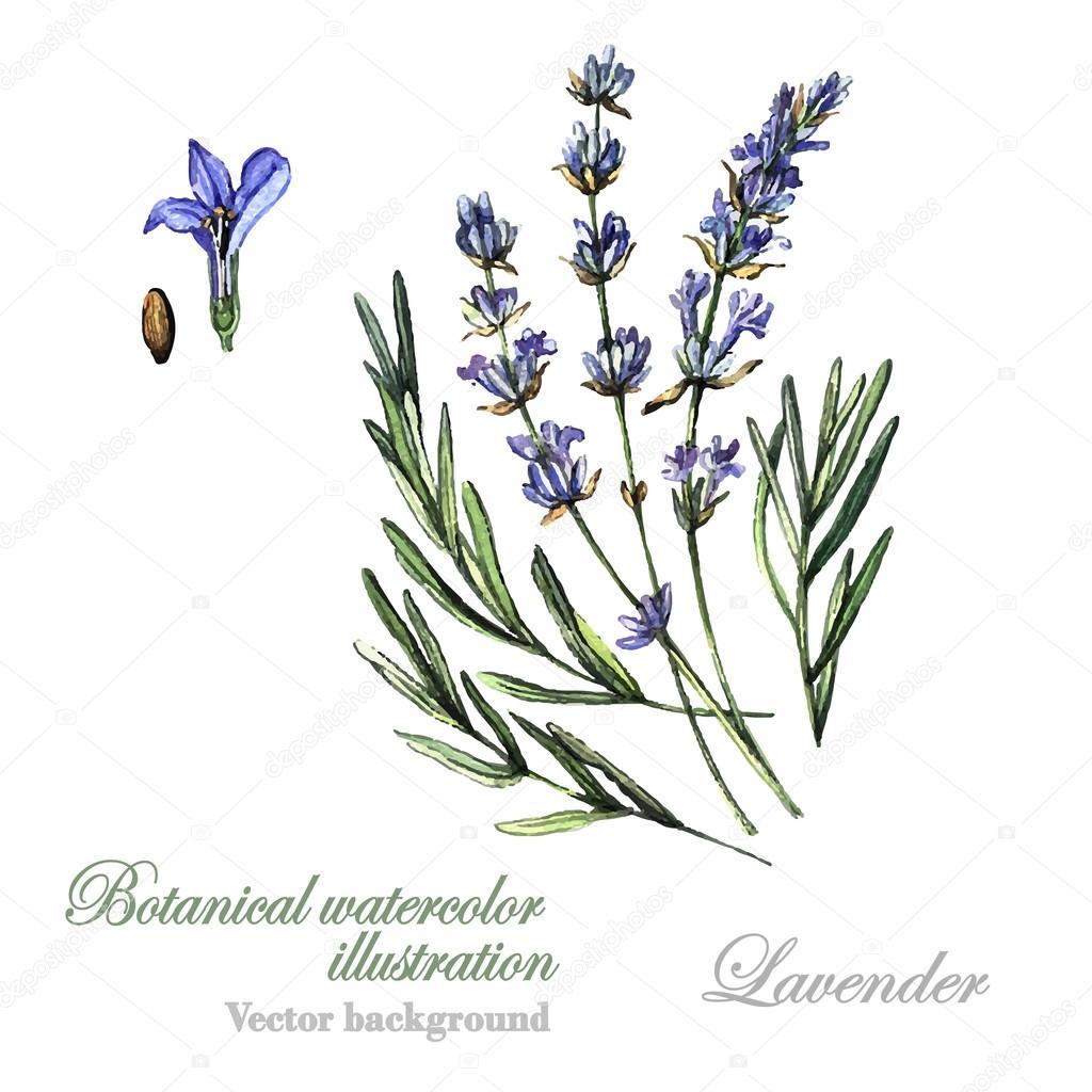 Watercolor Lavender illustration Lavender