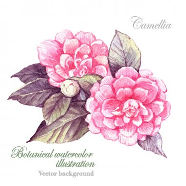 Watercolor illustration of Camellia