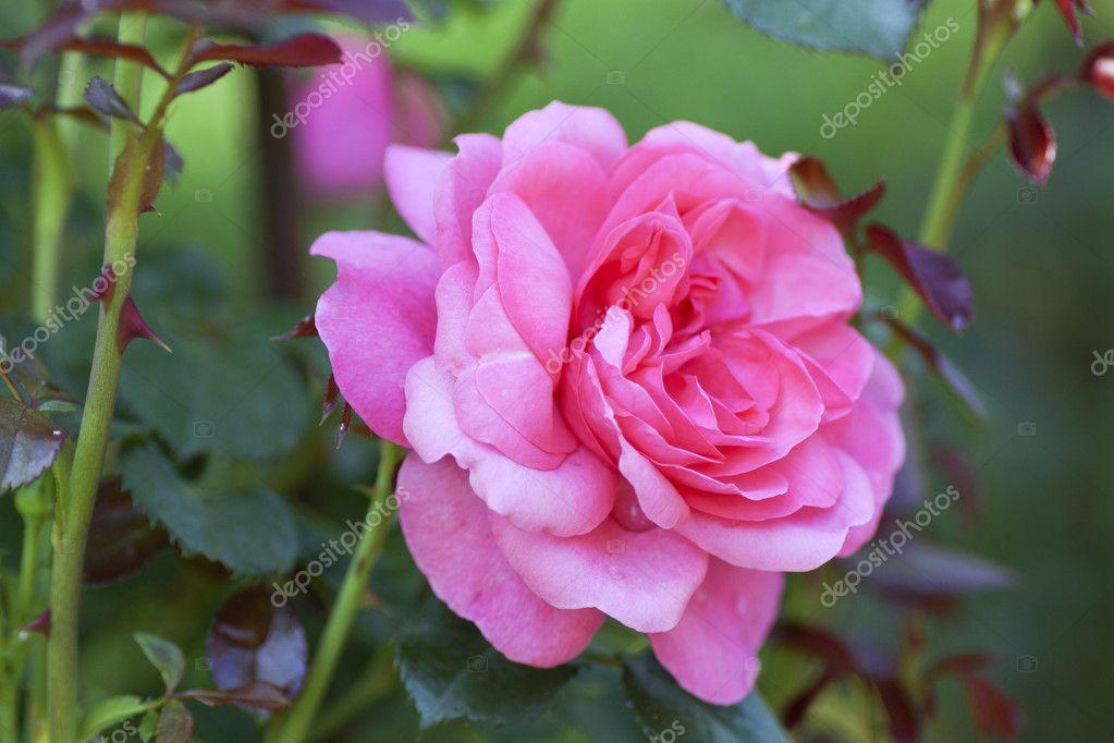 Pink rose flower in the garden.