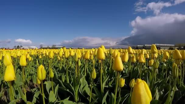 Krajina s barevnými květy tulipánů proti obloze - Zpomalený pohyb