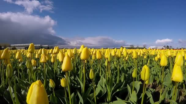 Yellow Tulip Field in Holland -  Time Lapse