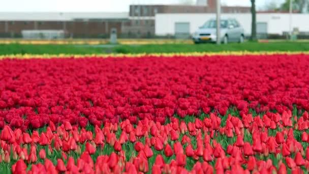 Barevný Tulipán květy rostoucí v poli