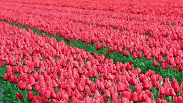 Tulipán květ pole