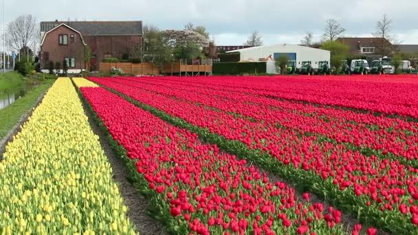 Tulipánová pole vícebarevné s holandský dům