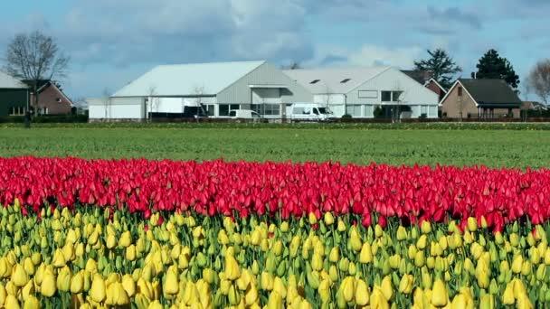 Parasztház A tengernyi színes tulipán