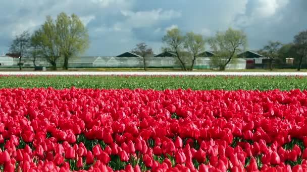 Krajina s červenými tulipány a zatažené oblohy v Nizozemsku