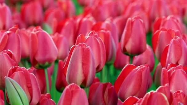 červený Tulipán pole