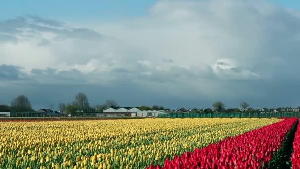 Krajina s červené a žluté tulipány a mraky na modré obloze v Nizozemsku