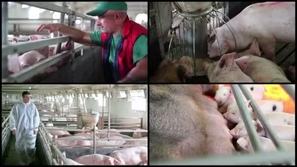 Pig Farming Management