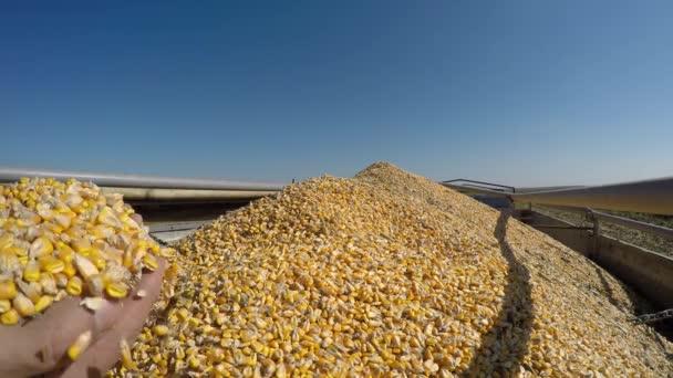 Ruce proudí kukuřice jader