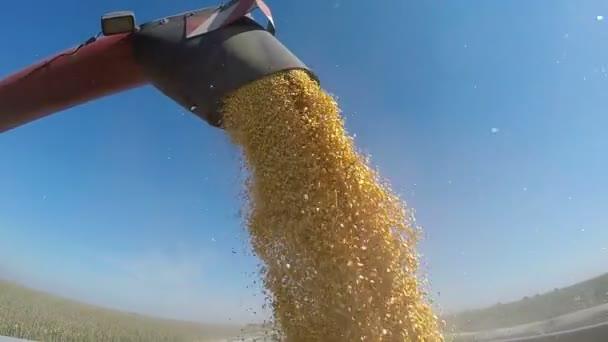 Sklizeň kukuřice převáděny do kamionu