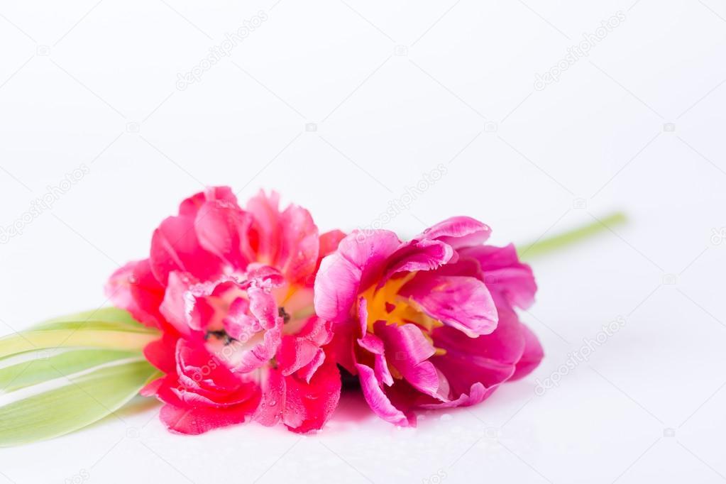 Paar rosa Blumen auf weiß — Stockfoto © nilswey #106617282
