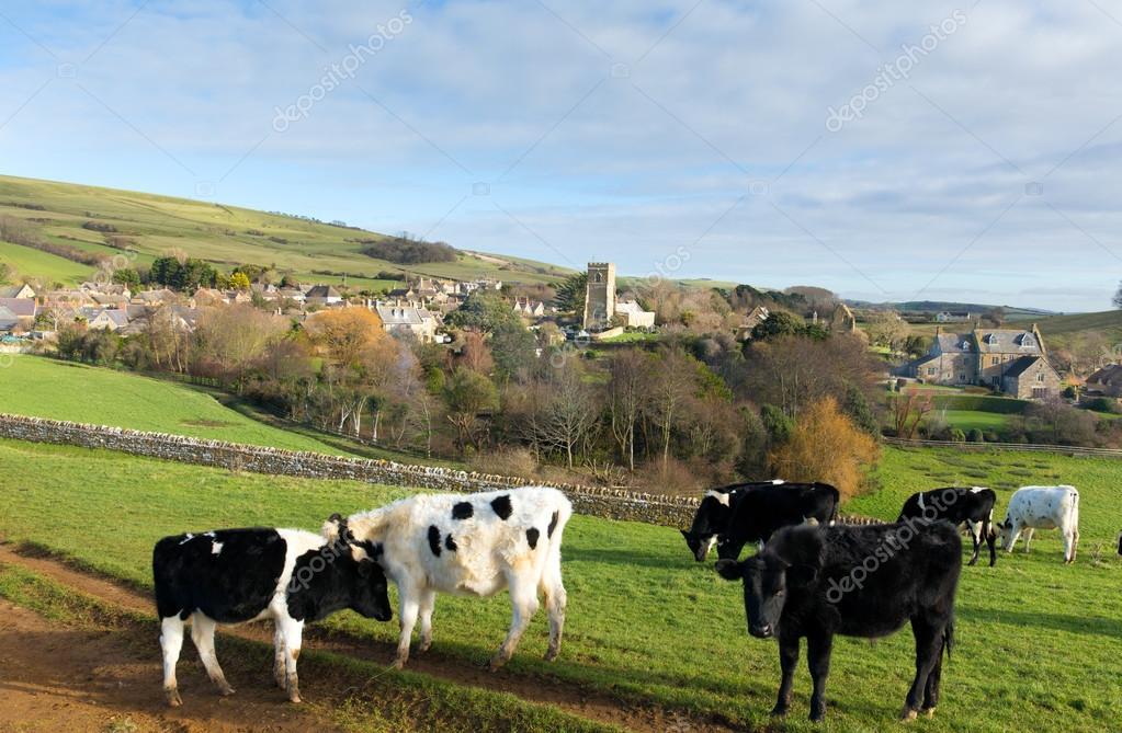 Cows grazing in Dorset village of Abbotsbury England UK
