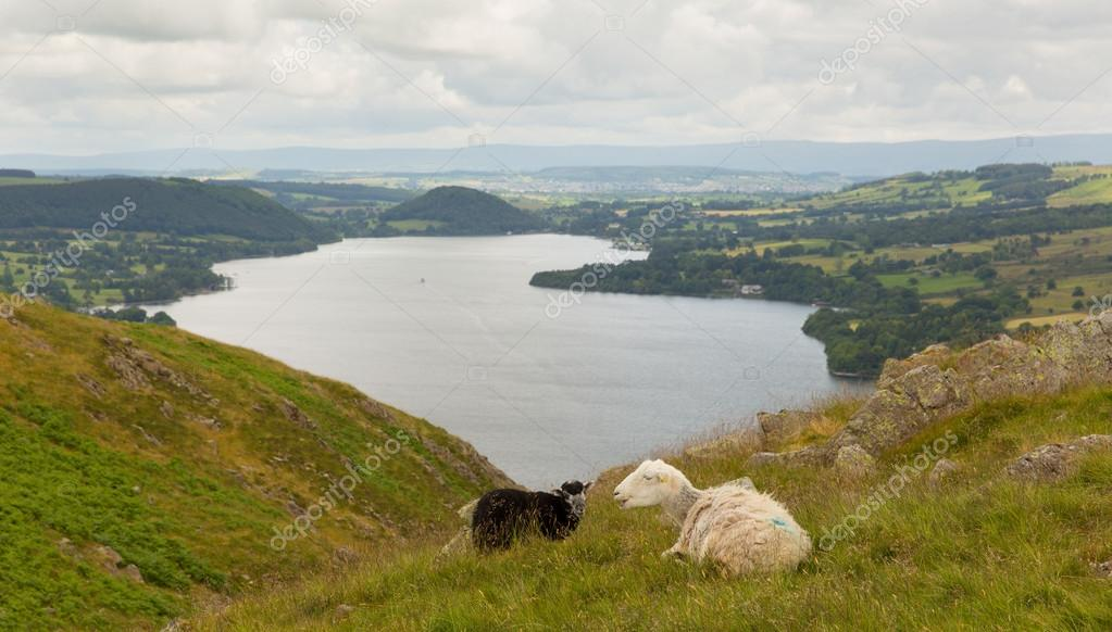 Black and white sheep together with elevated view of Ullswater Lake District Cumbria England UK